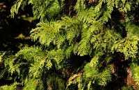Gelbe Scheinzypresse • Chamaecyparis lawsoniana Stardust