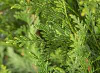 Grüner Riesen-Lebensbaum • Thuja plicata Atrovirens