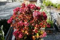 Bauernhortensie Masja • Hydrangea macrophylla Masja
