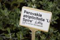 Blauraute Little Spire® • Perovskia atriplicifolia Little Spire