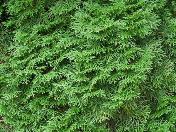 Lebensbaum Smaragd • Thuja occidentalis Smaragd