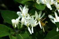 Heckenkirsche • Lonicera xylosteum