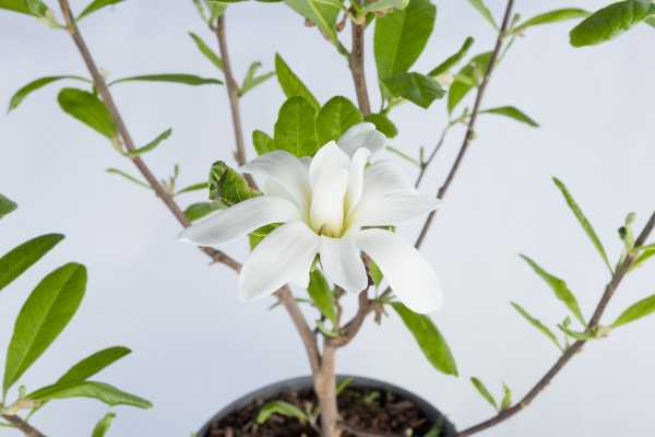 Sternmagnolie • Magnolia stellata