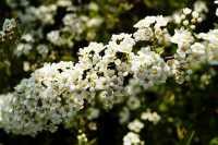 Weiße Rispenspiere • Spiraea cinerea Grefsheim