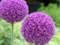 Riesenlauch • Allium giganteum