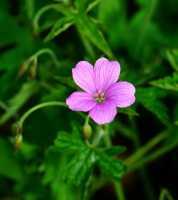 Pyrenäen-Storchschnabel • Geranium endressii