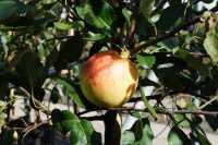 Apfelbaum James Grieve • Malus James Grieve