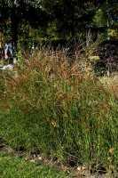 Garten-Chinaschilf, Garten-Landschilf • Miscanthus sinensis Gracillimus