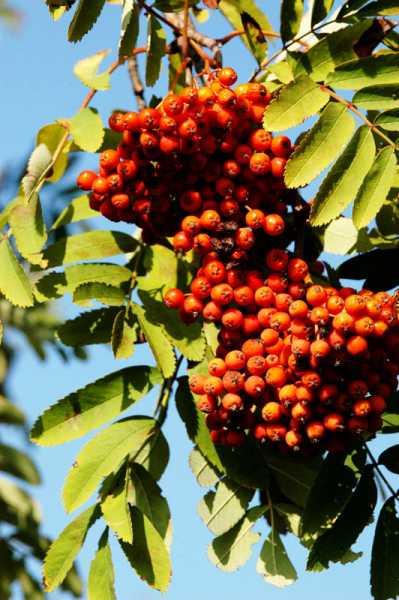 Vogelbeere-Eberesche • Sorbus aucuparia