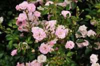 Bodendeckerrose The Fairy • Rosa The Fairy