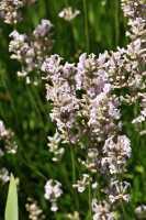 Lavendel Rosea • Lavandula angustifolia Rosea