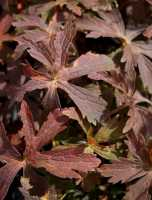 Garten Storchschnabel Espresso • Geranium maculatum Espresso