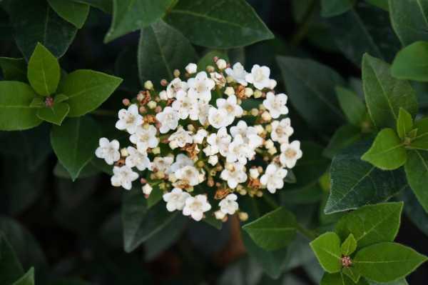 Lorbeer-Schneeball Eve Price • Viburnum tinus Eve Price