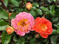 Bodendeckerrose Bessy • Rosa Bessy