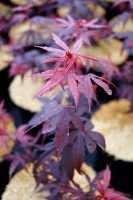 Zierahorn • Acer Palmatum Shaina