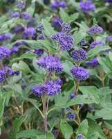 Bartblume Blauer Spatz® • Caryopteris clandonensis Blauer Spatz®