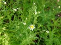 Römische Scheinkamille • Chamaemelum nobile