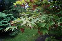 Fächerahorn Osakazuki • Acer palmatum Osakazuki