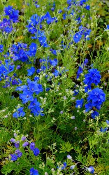 Zwergiger Garten-Rittersporn • Delphinium grandiflorum Blauer Zwerg