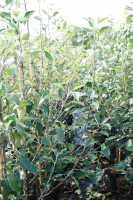 Apfelbaum Cox Orange Renette • Malus Cox Orange Renette