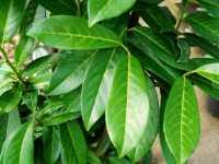 Kirschlorbeer Genolia® • Prunus laurocerasus Genolia